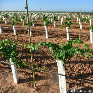 rows of first leaf grape vines