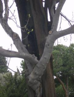 Topkapı Palace - zwei Bäume in Einem