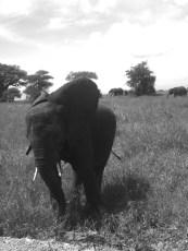 Elefant im Tarangire