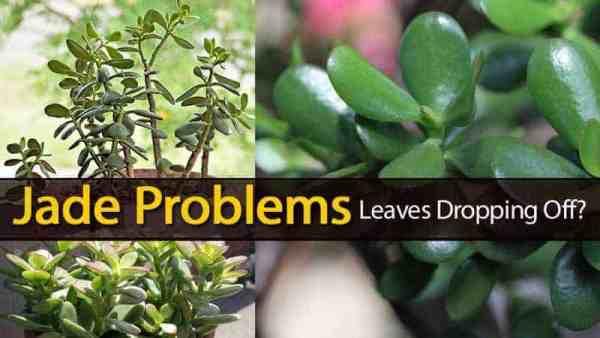 Jade Succulent Plant Problems
