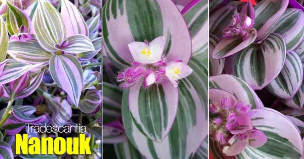 How To Care For the Nanouk plant