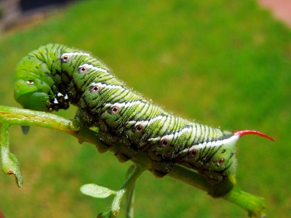 Caterpillar with red horn