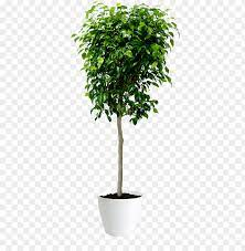 when to prune a ficus tree