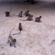 monkeys in thailand