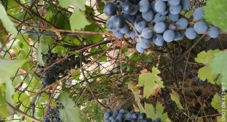 Виноград, сорт Изабелла