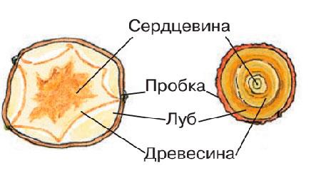 Клубноуковица - қысқартылған модификацияланған қашу, бұл қоректік заттар жинақталған бағананың қалыңдатылған бөлігі.