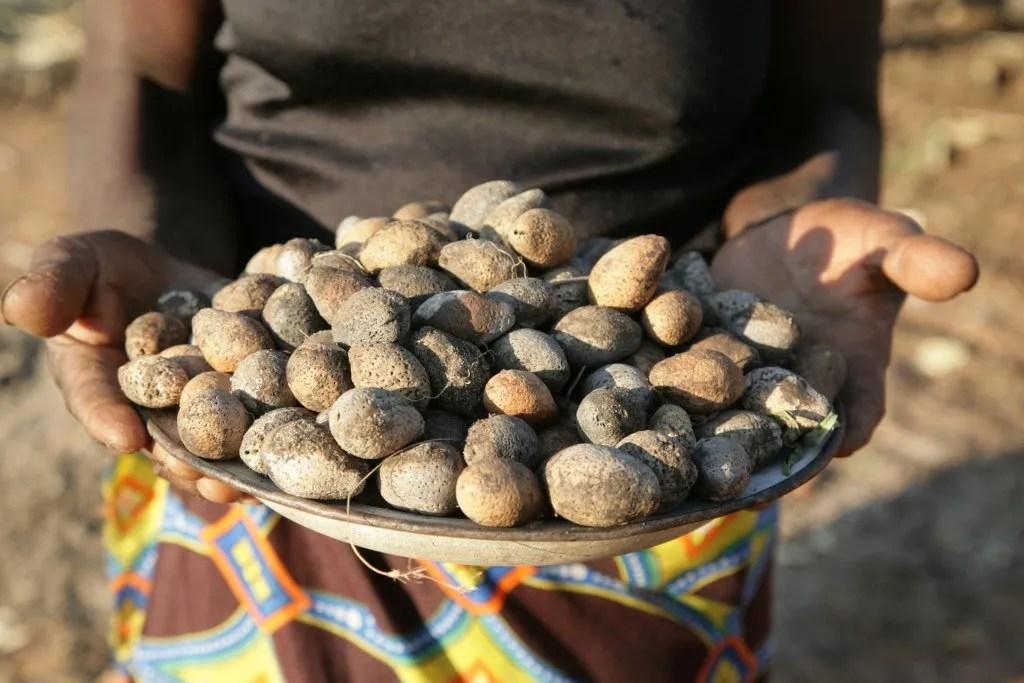 Mongongo Nut Or Manketti Tree BIZ