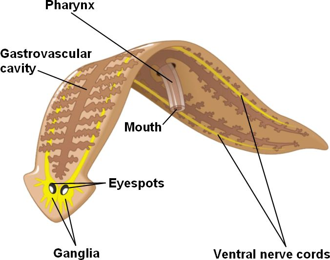 More turbellaria moving eating mating skeptical squirrel diagram of a turbellarian showing the pharynx and gastrovascular cavity in humans the gastrovascular cavity is our stomach and intestines ccuart Images