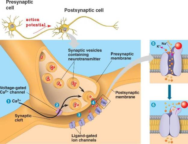 Image result for Synaptic Vesicles