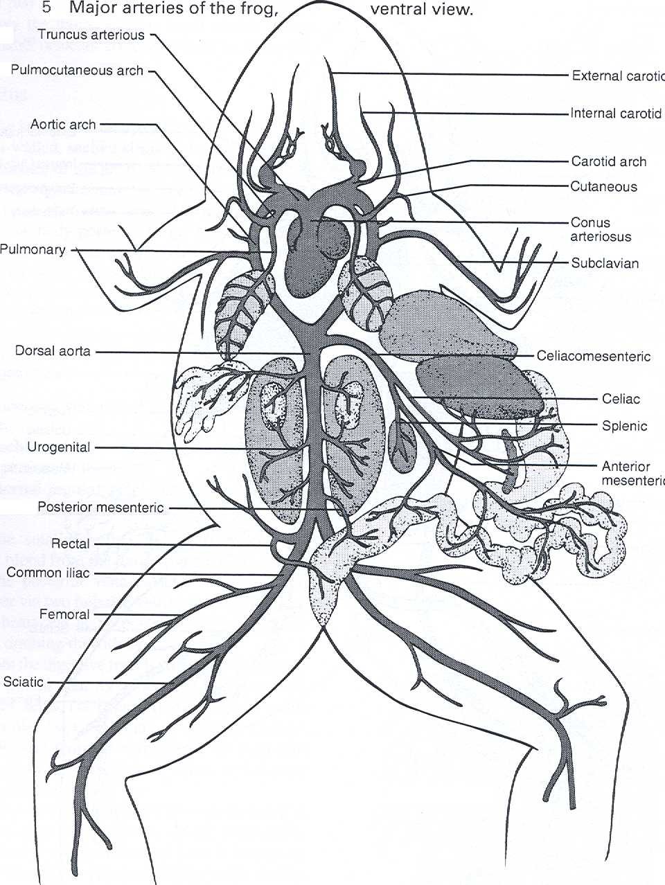 Internal Frog Anatomy Worksheet