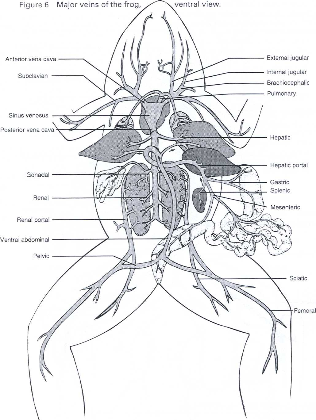Frog Circulatory System Diagram