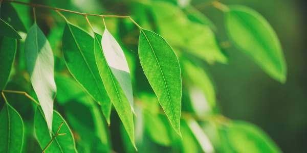 agrotóxico produzido de folha de eucalipto