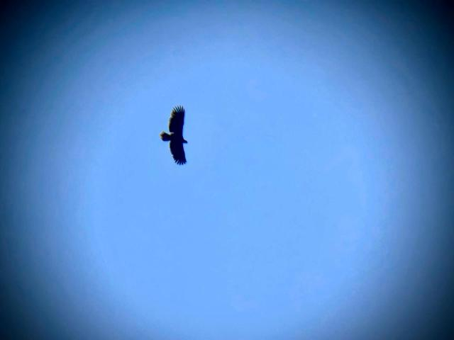 Een snel geschoten verrekijker kiekje van de vliegende deur. Grote brede vleugels met lange vingers en een grote imposante snavel: de zeearend ©Donny Dolman