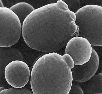 Llevat del pa vist al microscopi electrònic