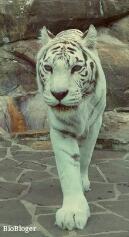 Бенгальский тигр альбинос