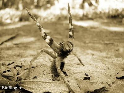 Бразильский блуждающий паук