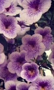 Ахименес как декоративное растение тропической Америки