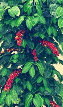 Кофейное дерево как вечнозеленый тропический кустарник