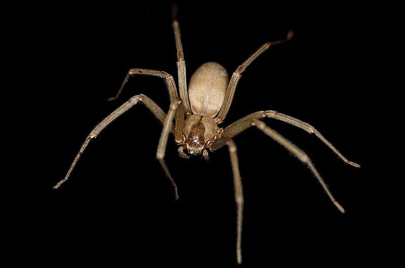 Коричневый паук-отшельник как один из самых ядовитых в мире