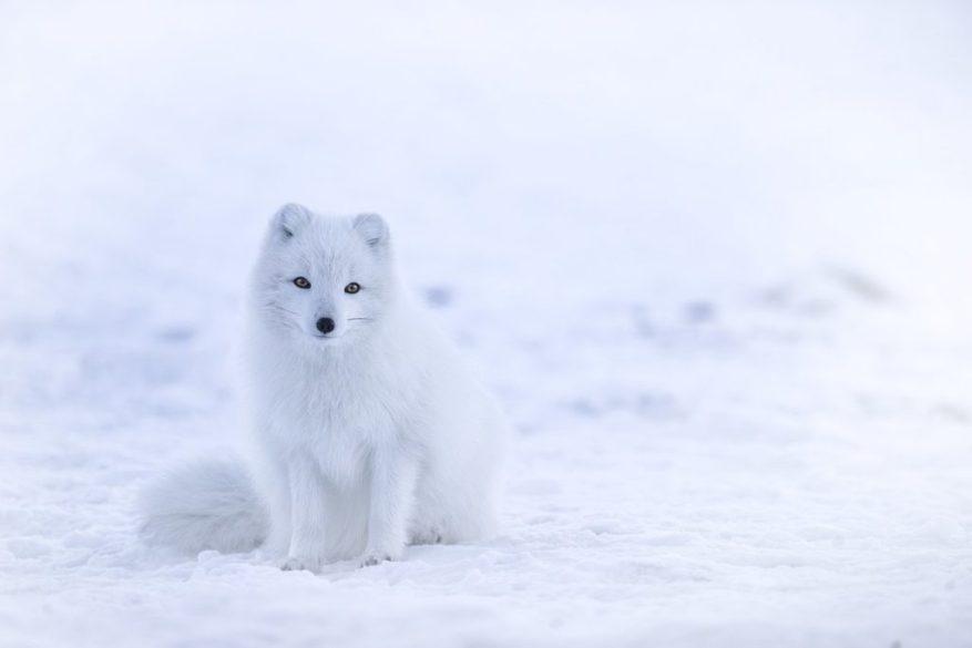 Арктическая лиса