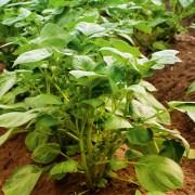 biocare attracap pflanze