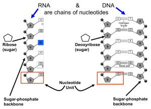 NUCLEIC ACIDS AND NUCLEOTIDES THE BUILDING BLOCKS OF LIFE