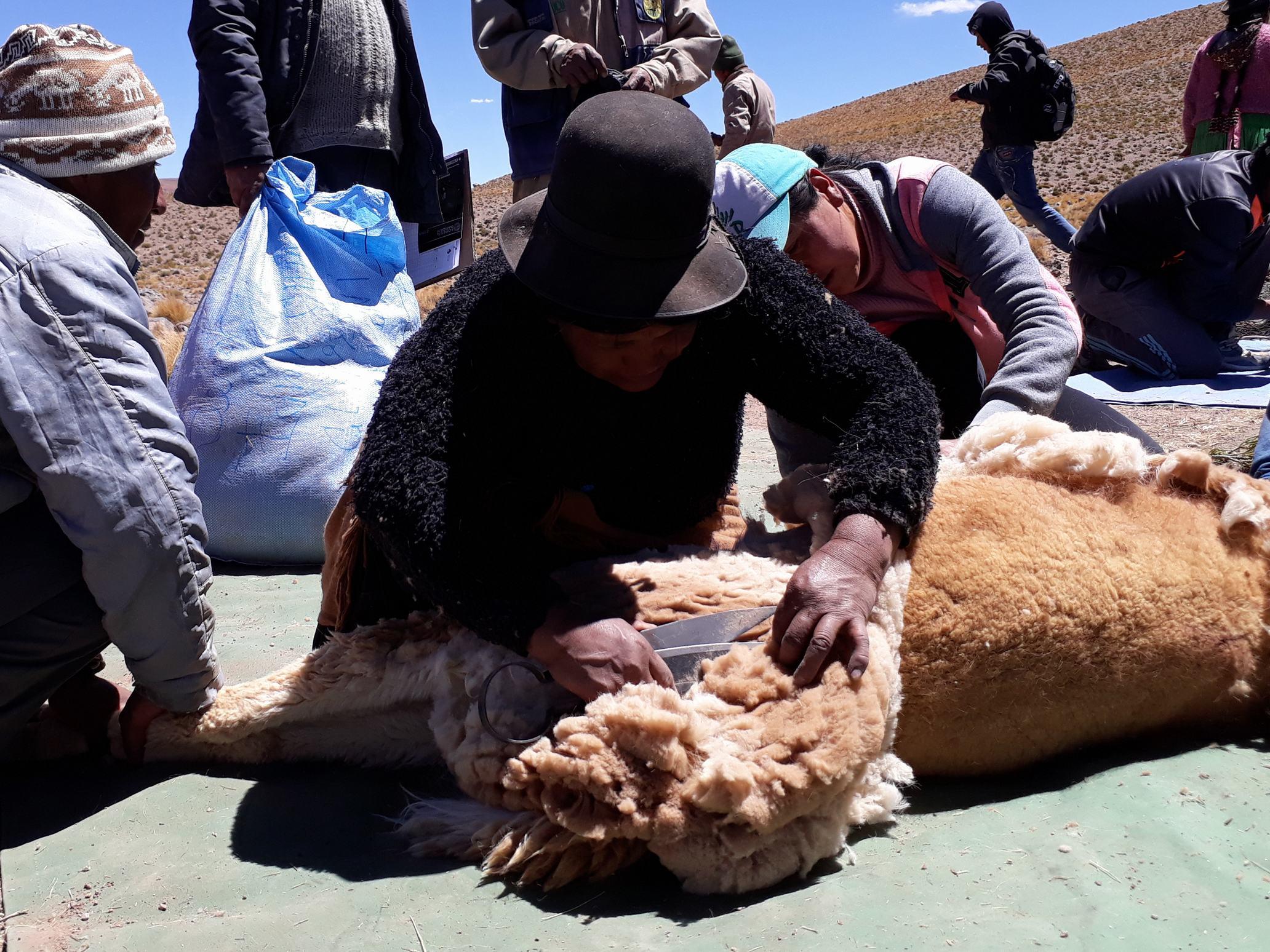 Sud Lipez realiza la esquila comunitaria de vicuñas