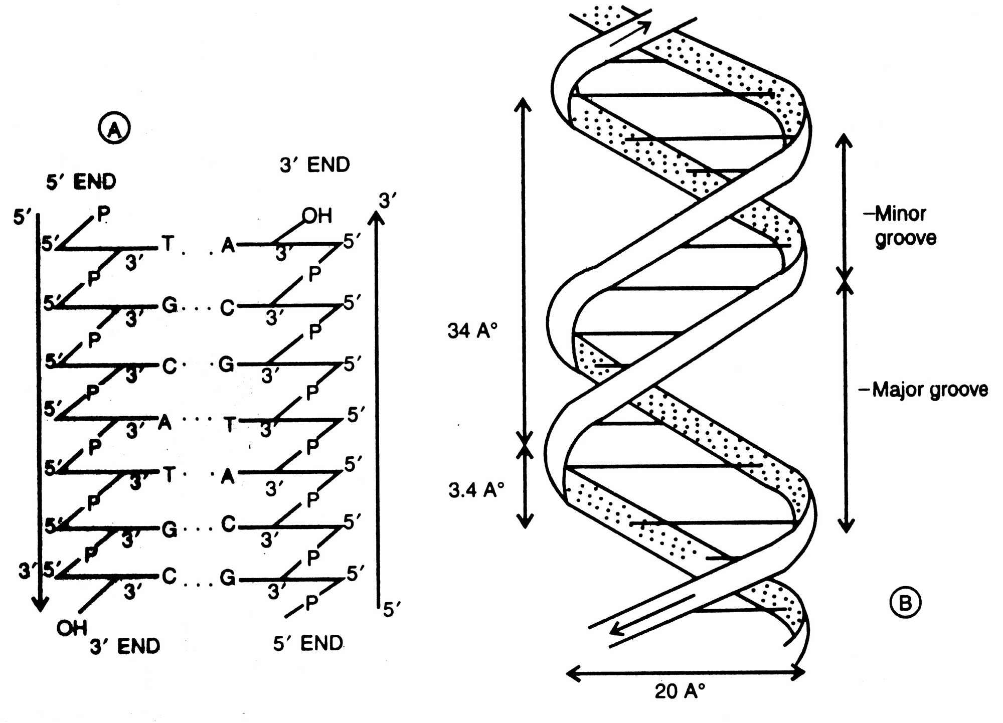 Physical Nature Of Dna