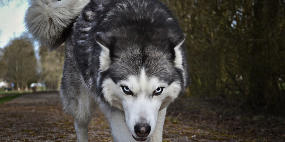 Grey and white wolf, looking at you, about to pounce.