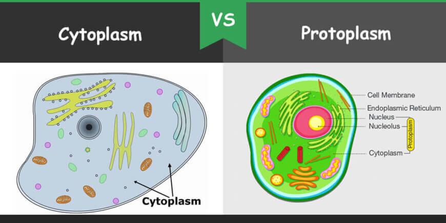 Cytoskeleton Cytoplasm Vs