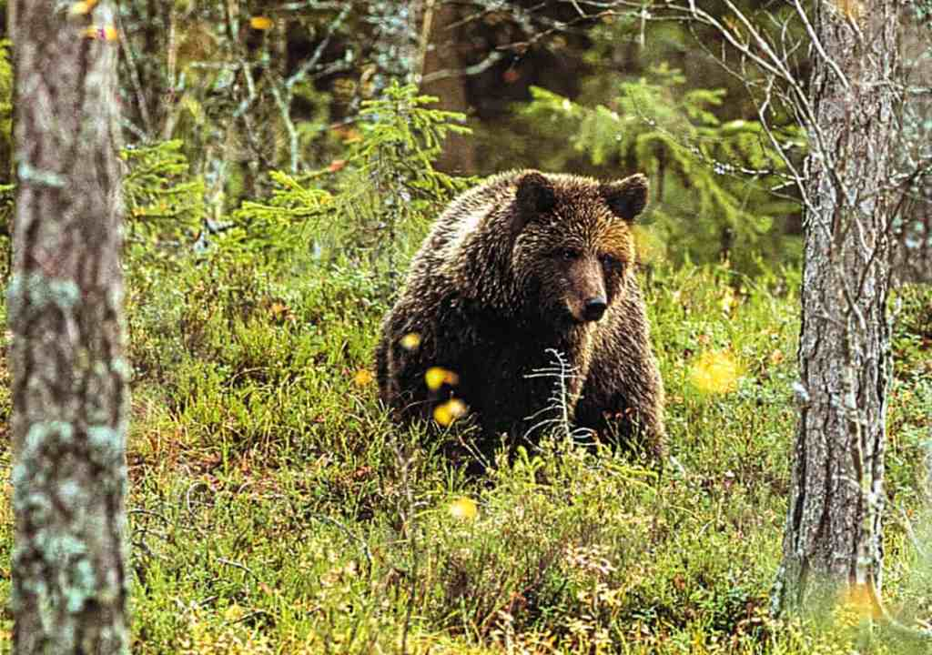 Wilderness_bear_fnp_leifostergren.jpg - © European Wilderness Society CC BY-NC-ND 4.0