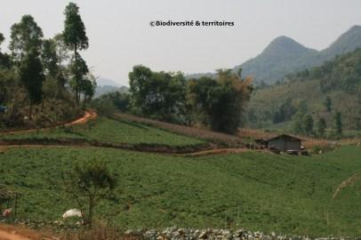 Monoculture sur les hauteurs de Chiang-Mai (Thailande)