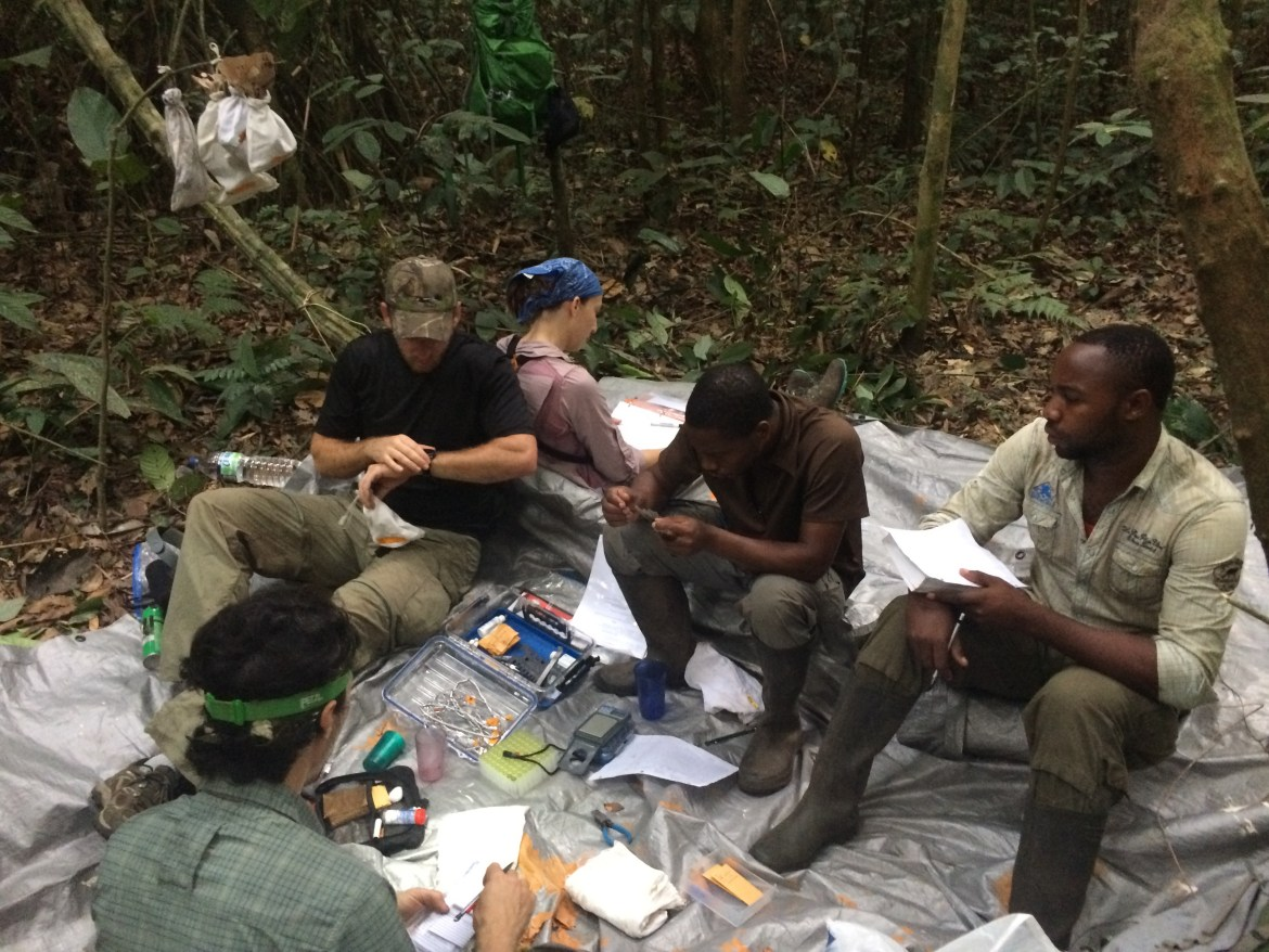 Banding birds and training Equatoguinean INDEFOR-AP technicians Oyala, Equatorial Guinea (Photo by Luke Powell/BI)