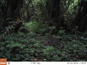 Blue duiker inside the Caldera Lupa, Equatorial Guinea, March 2016 (Photo by BI, Bushnell field cameras).