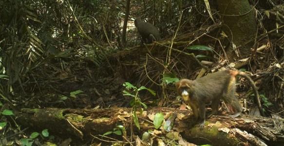 DeBrazza's monkeys in a camera trap image from Rio Campo, Equatorial Guinea