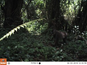 A female Drill monkey and baby captured on a BI camera trap inside the Caldera Lupa, Equatorial Guinea, April 2016 (Photo by BI, Bushnell field cameras).