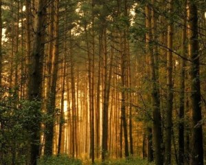 Photo of dense pine forest