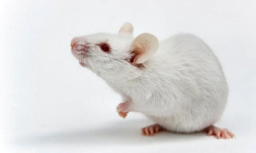Mice That 'Smell' Light Could Help Scientist Better Understand Olfaction