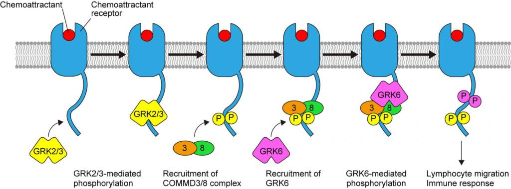 Researchers show how to target a shape-shifting protein