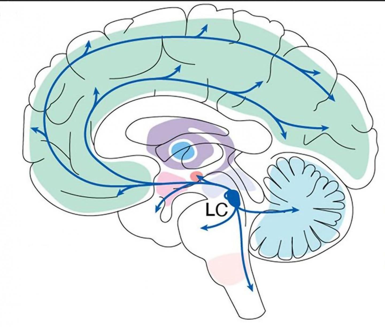 Neuroscientists posit that brain region is a key locus of learning
