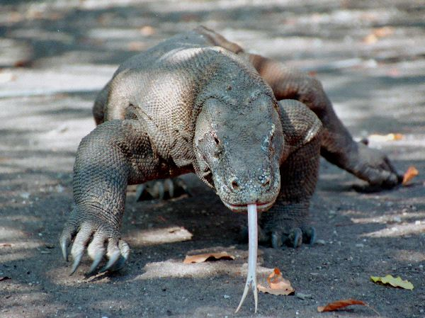 Komodo dragon biome
