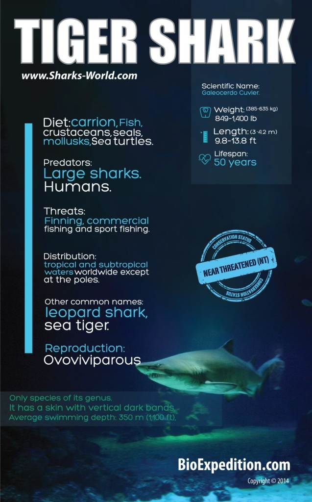 Tiger Shark Infographic Animal Facts And Information