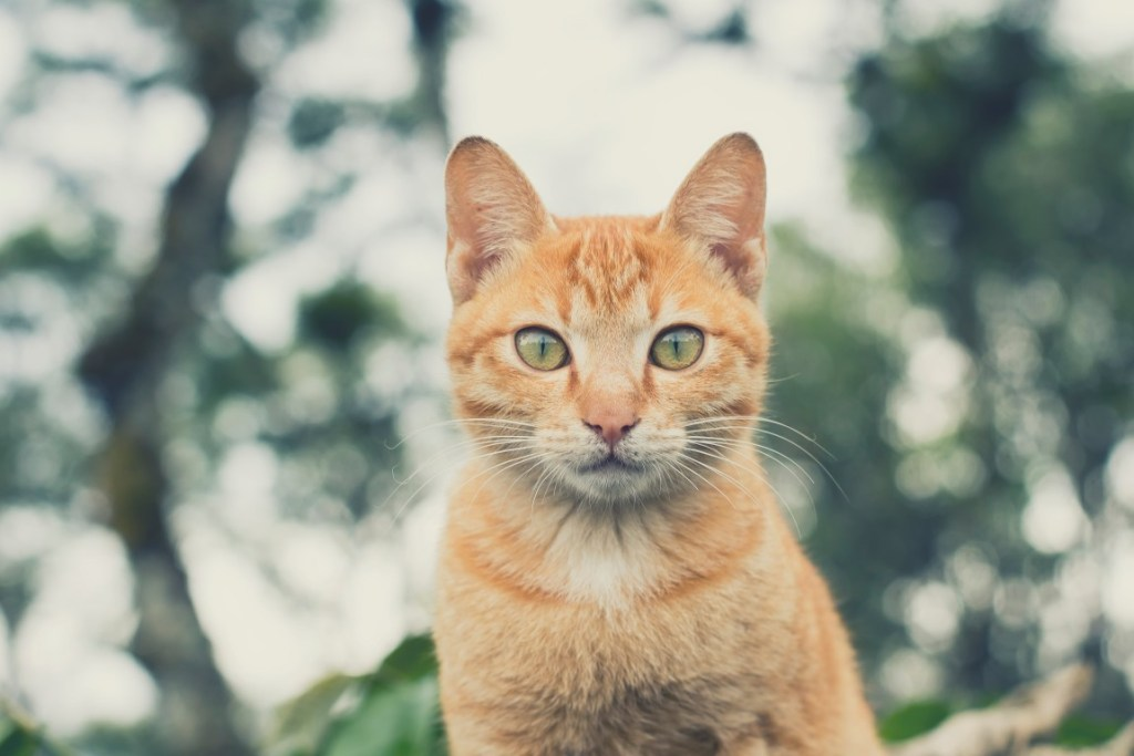 The asian yellow cat freebies picture.