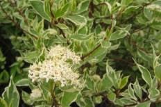 Cornus alba 'Elegantissima' blomma