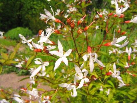 Blommor av trebladsspirea, Gillenia trifoliata