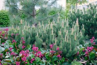 Balkanbergtall, Pinus mugo var. pumilo