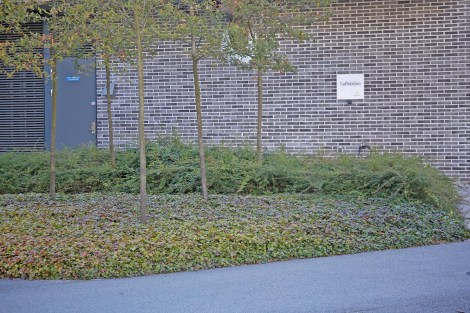 Gullgröna, Waldsteinia ternata, höst