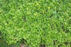 Gullgröna, Waldsteinia ternata, sommar