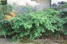 Hybrididegran, Taxus x media 'Farmen'