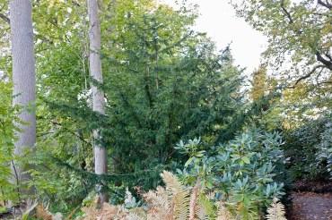 Hybrididegran, Taxus x media 'Adams'